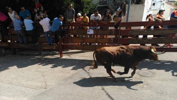 Abatido a tiros un novillo tras escapar de un encierro en Galapagar