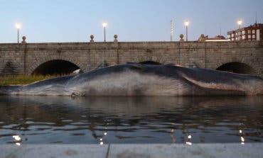 Resuelto el misterio del cachalote aparecido en el río Manzanares