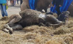 Un camello cae desplomado en el Mercado Cervantino de Alcalá de Henares
