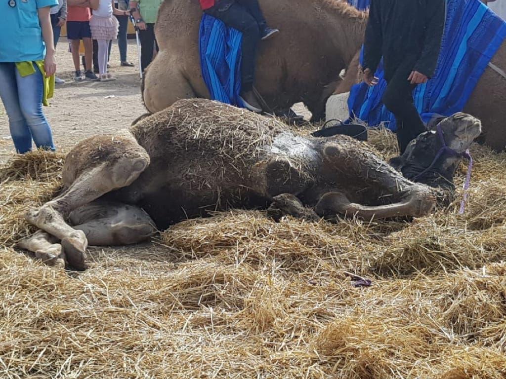Muere el camello desplomado en el Mercado Cervantino de Alcalá de Henares