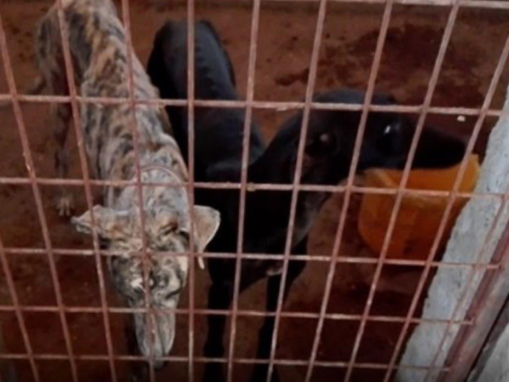 Detenidos en Madrid por maltratar a 28 perros, la mayoría galgos