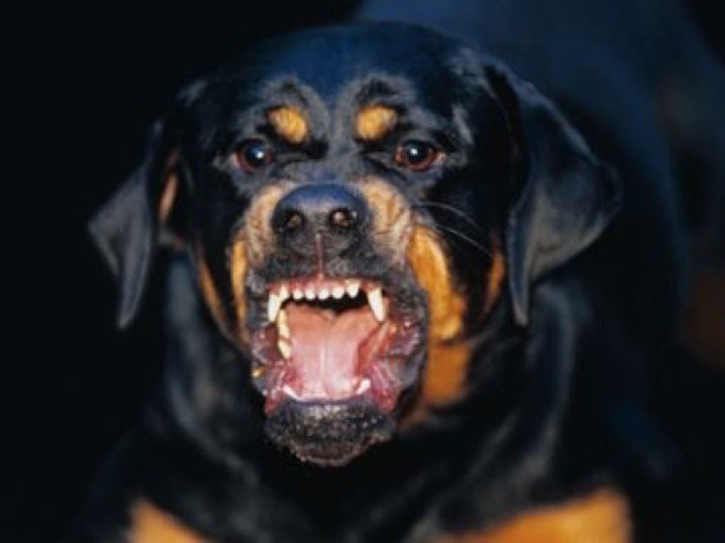 Unos delincuentes azuzan contra la Policíaa dos perrosrottweiler