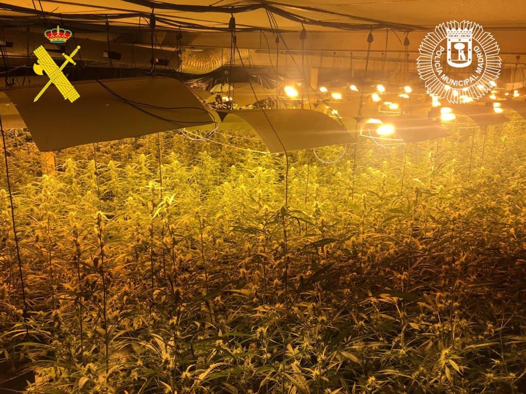 La última operación antidroga en la Cañada Real: dos detenidosy 2.400 plantas de marihuana incautadas