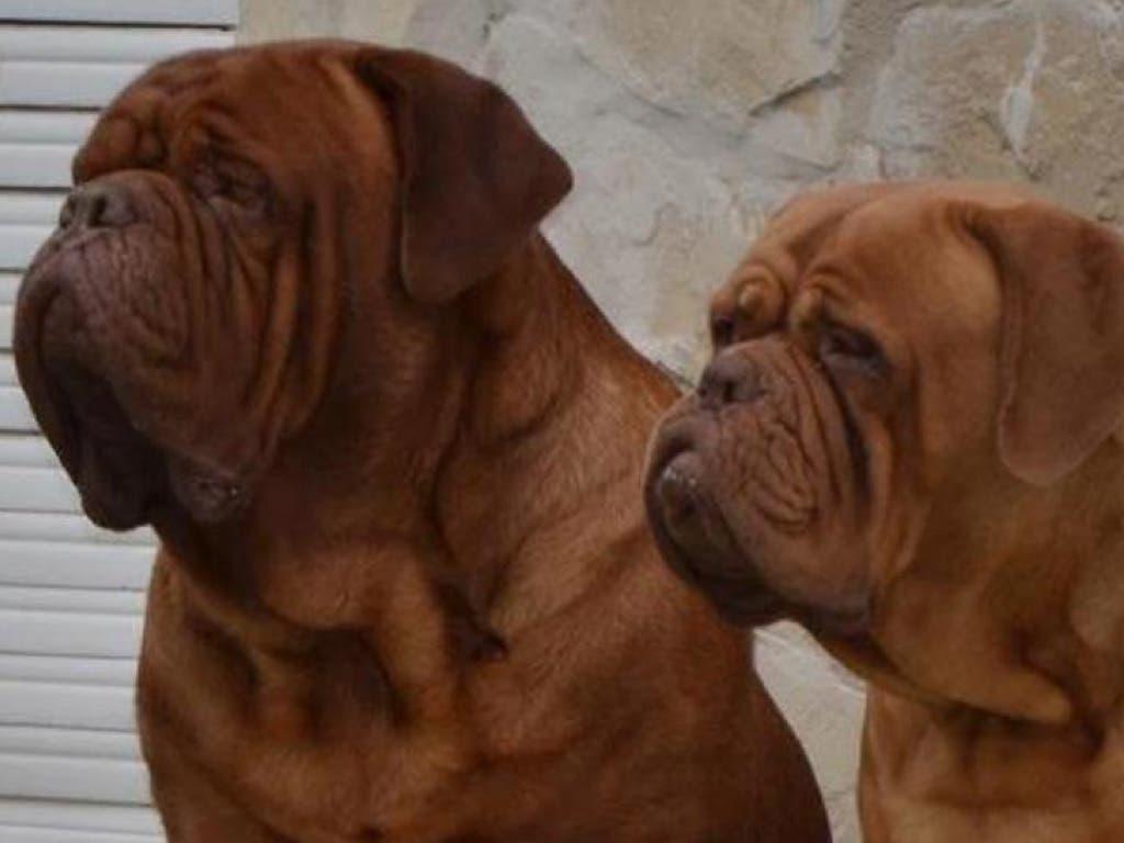 Dogos de Burdeos, los perros que han matado a dos mujeres en Madrid