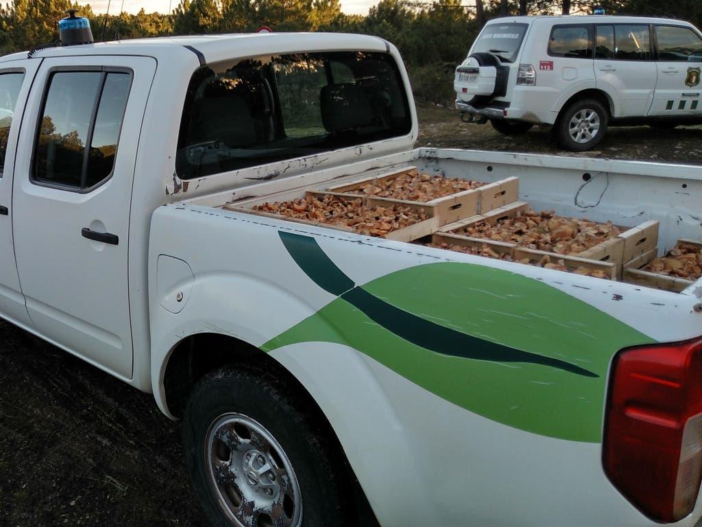 Decomisan un cargamento de 160 kilos de níscalos recogidos en Guadalajara
