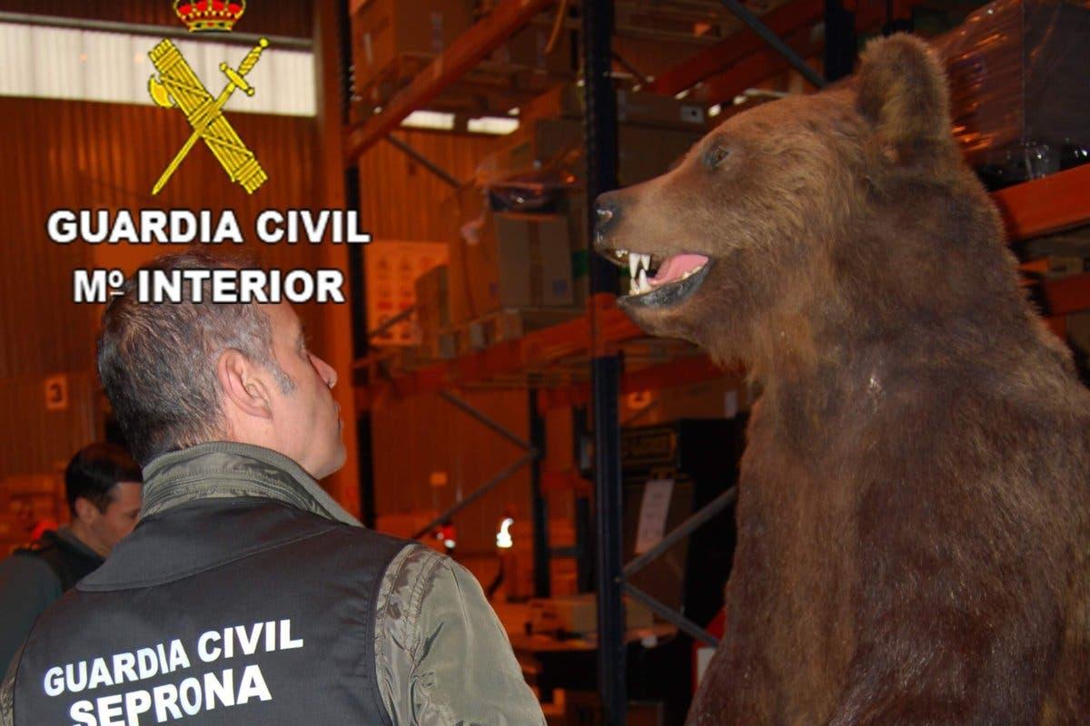 Intervenidos en Guadalajara colmillos y patas de elefante, osos disecados y más trofeos de caza