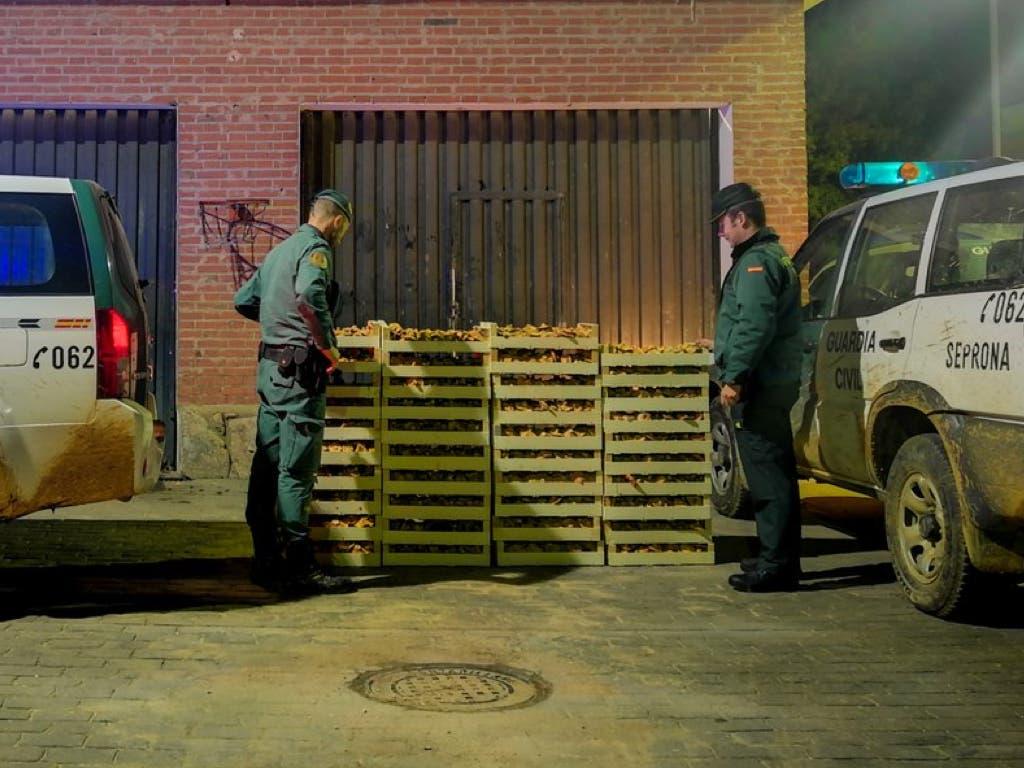 La Guardia Civil incauta más de una tonelada de níscalos en Guadalajara