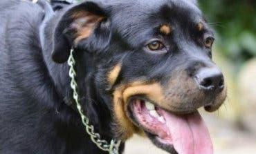 Torrejón de Ardoz aprueba nuevas tasas por tener perros potencialmente peligrosos