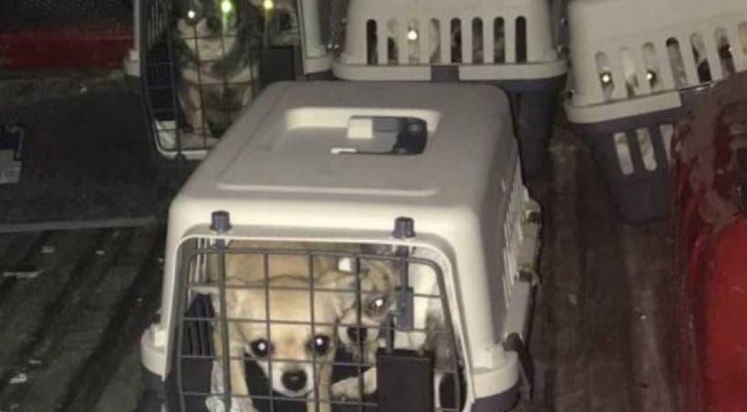 Desmantelado en Meco un criadero ilegal de chihuahuas