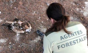 Hallan muerto en Campo Real un milano real, especie en peligro de extinción