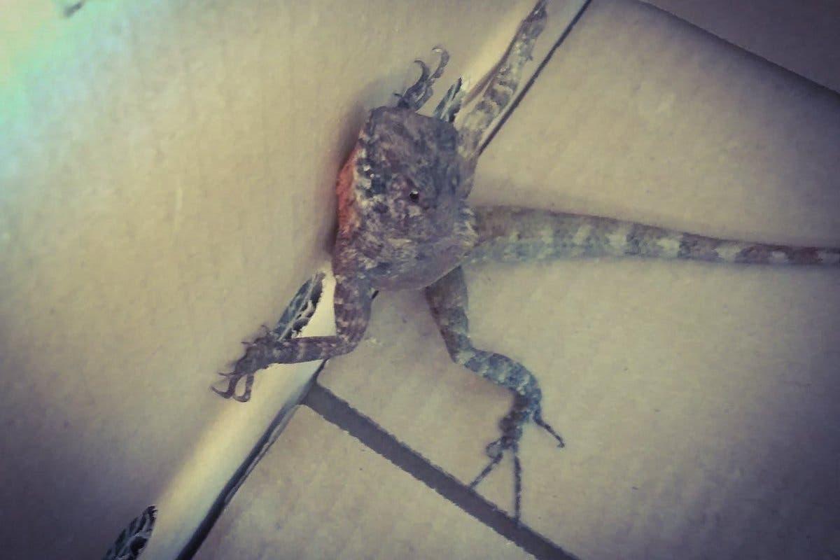Hallan un lagarto tailandés en una empresa de San Fernando de Henares