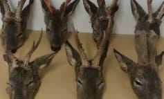 Detenidos en Torrejón dos cazadores furtivos de corzos