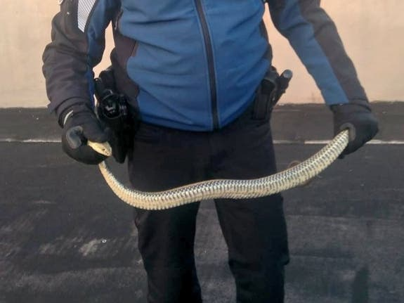Capturan una serpiente bastarda en un garaje