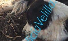 Muere el perro rescatado de un cepo en Velilla de San Antonio