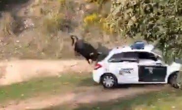 Un toro bravo se escapa y siembra el pánico en Galapagar