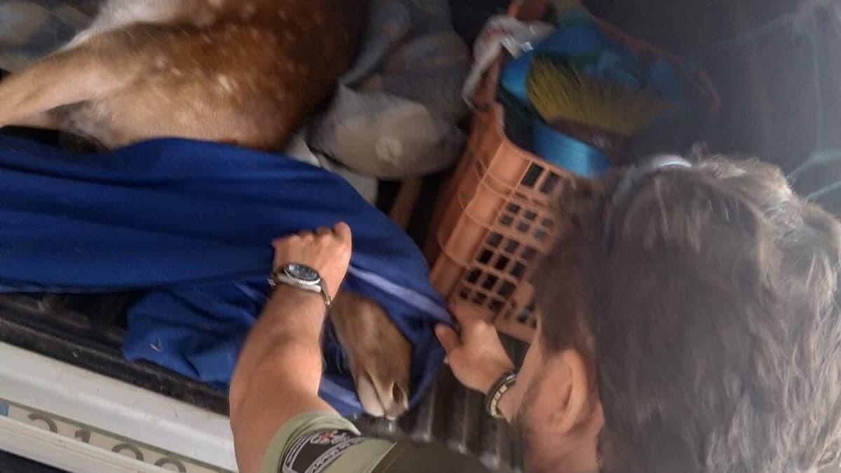 Rescatan a una hembra de gamo embarazada y atropellada en la M-501