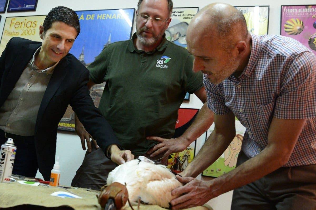 Alcalá de Henares instala GPS a un pollo de cigüeña para seguirlo