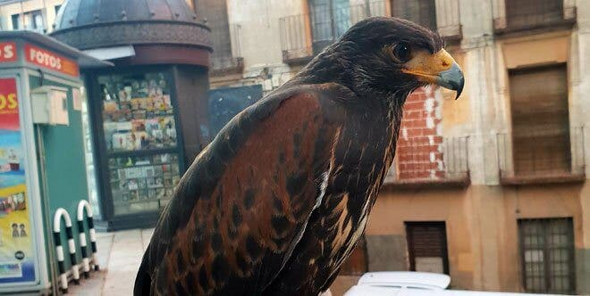 Los halcones sobrevuelan Guadalajara para ahuyentar a las palomas