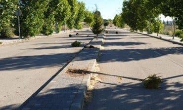 Arrancan una decena de árboles recientemente plantados en Cabanillas