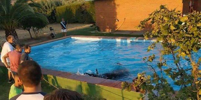 Un toro de un encierro en Guadalajara acaba en la piscina de un chalé