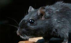 Alertan de la presencia de rata negra en Madrid