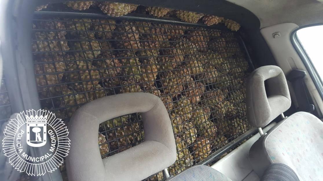 Denunciados por robar 2.000 kilos de piñas en un parque de Vallecas