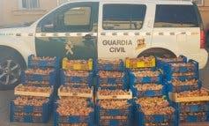 Incautados 3.500 kilos de níscalos recolectados de forma ilegal en Guadalajara