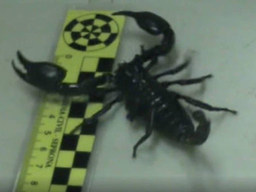 Hallan en un piso en Madrid varios escorpiones, uno muy peligroso