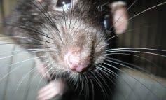 Encuentran ratas y cucarachas en una pizzería del centro de Madrid