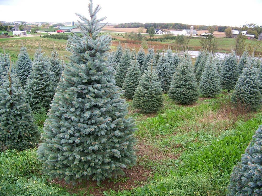 Torrejón recoge a domicilio los árboles navideños de los vecinos para replantarlos