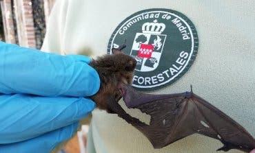 Agentes Forestales restacan a un murciélago herido en un chalé de Rivas