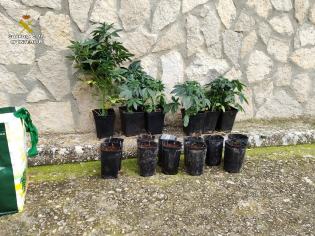 Interceptado un vecino de Torrejón de Ardoz en Cuenca con 17 plantas de marihuana