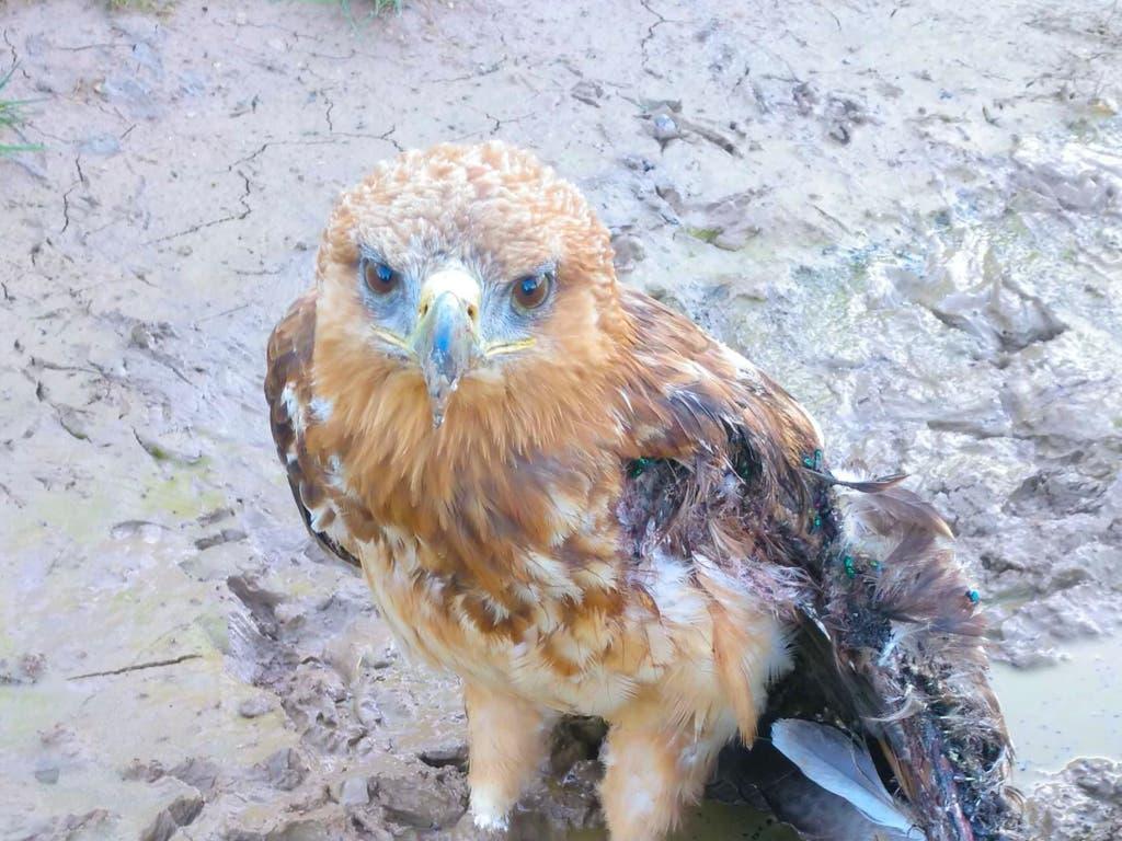 Rescatan a un águila calzada herida en Guadalajara