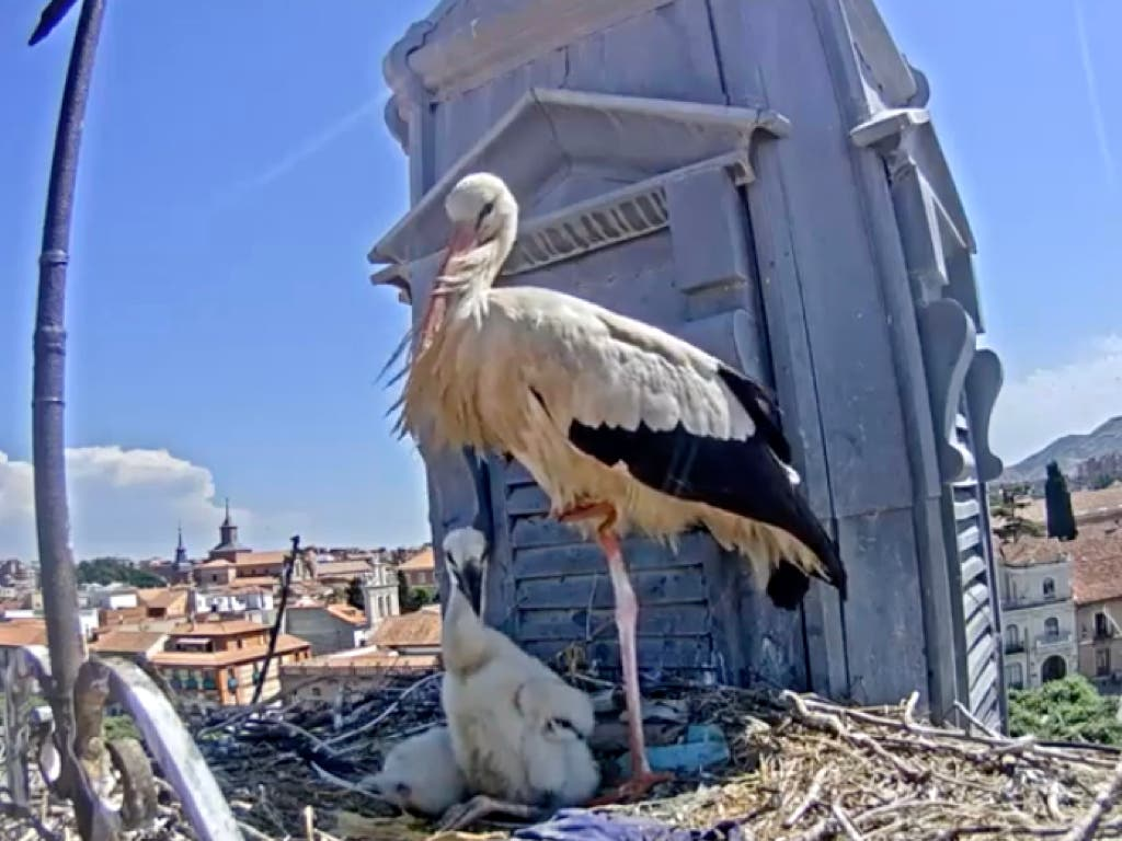 Las cigüeñas youtubers de Alcalá de Henares vuelven en directo