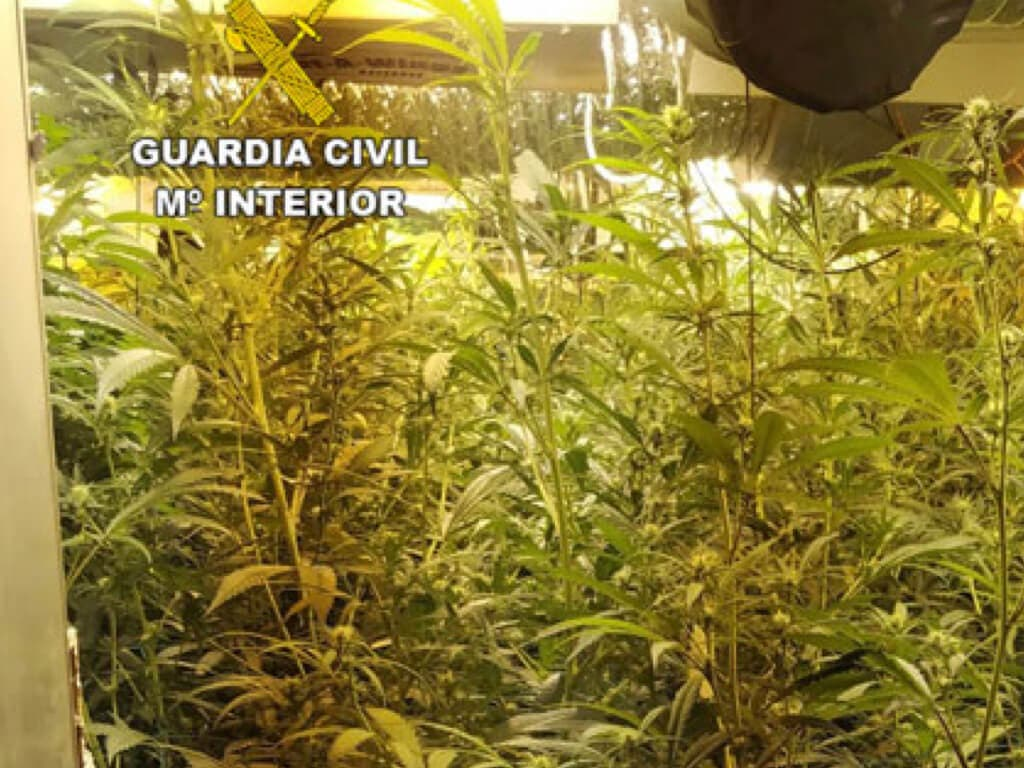 El olor a marihuana delató a un joven de Guadalajara que escondía 608 plantas