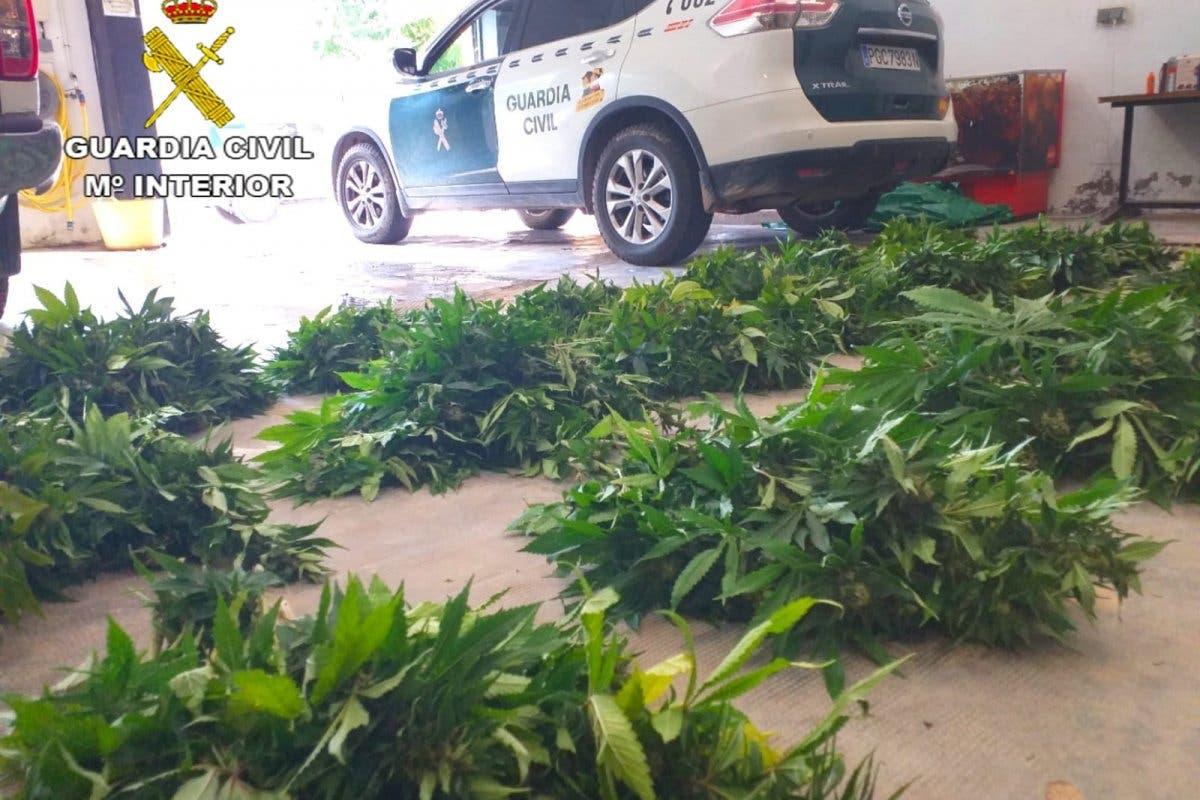 Sorprendido en Guadalajara cuando trasladaba varias bolsas con 400 plantas de marihuana