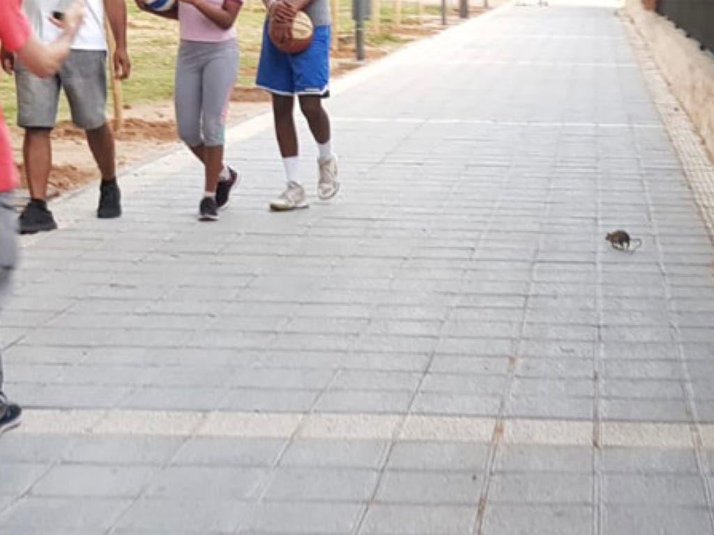 Una rata se pasea tranquilamente por una calle de Azuqueca de Henares