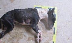 Investigado en Brihuega (Guadalajara) por la muerte de su perro por inanición