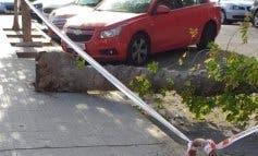 Cae un árbol en una calle de Coslada y denuncian falta de mantenimiento