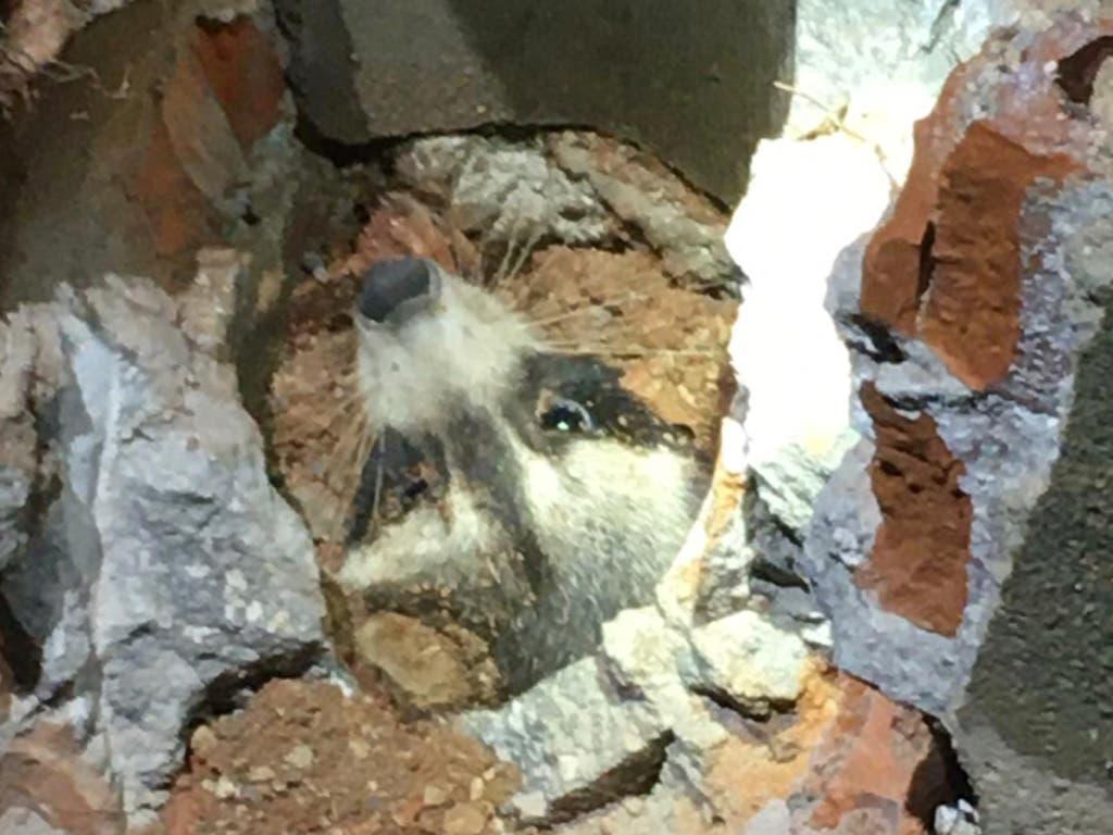 El complicado rescate de un mapache atrapado en una tubería en Torres de la Alameda