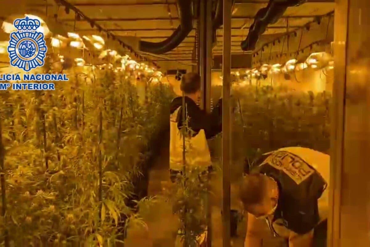 Desmantelan en Paracuellos una plantación de marihuana valorada en más de 3,6 millones de euros