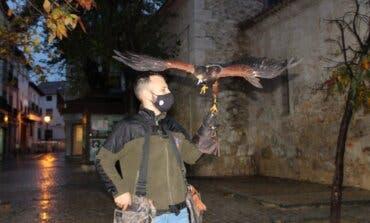 Vuelos disuasorios con aves rapaces en Arganda para ahuyentar a las palomas