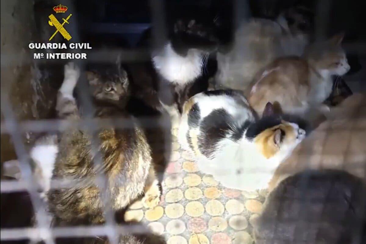 Una mujer tenía más de 50 gatos hacinados en 10 metros cuadrados en Arganda