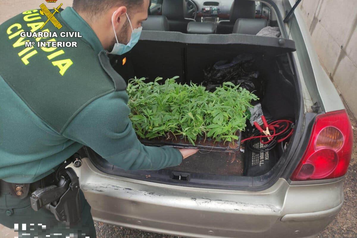 Pillado un vecino de Madrid en un control anticovid en Guadalajara con 100 esquejes de marihuana