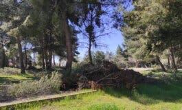 Restos de poda sin recoger en Coslada tres meses después de Filomena