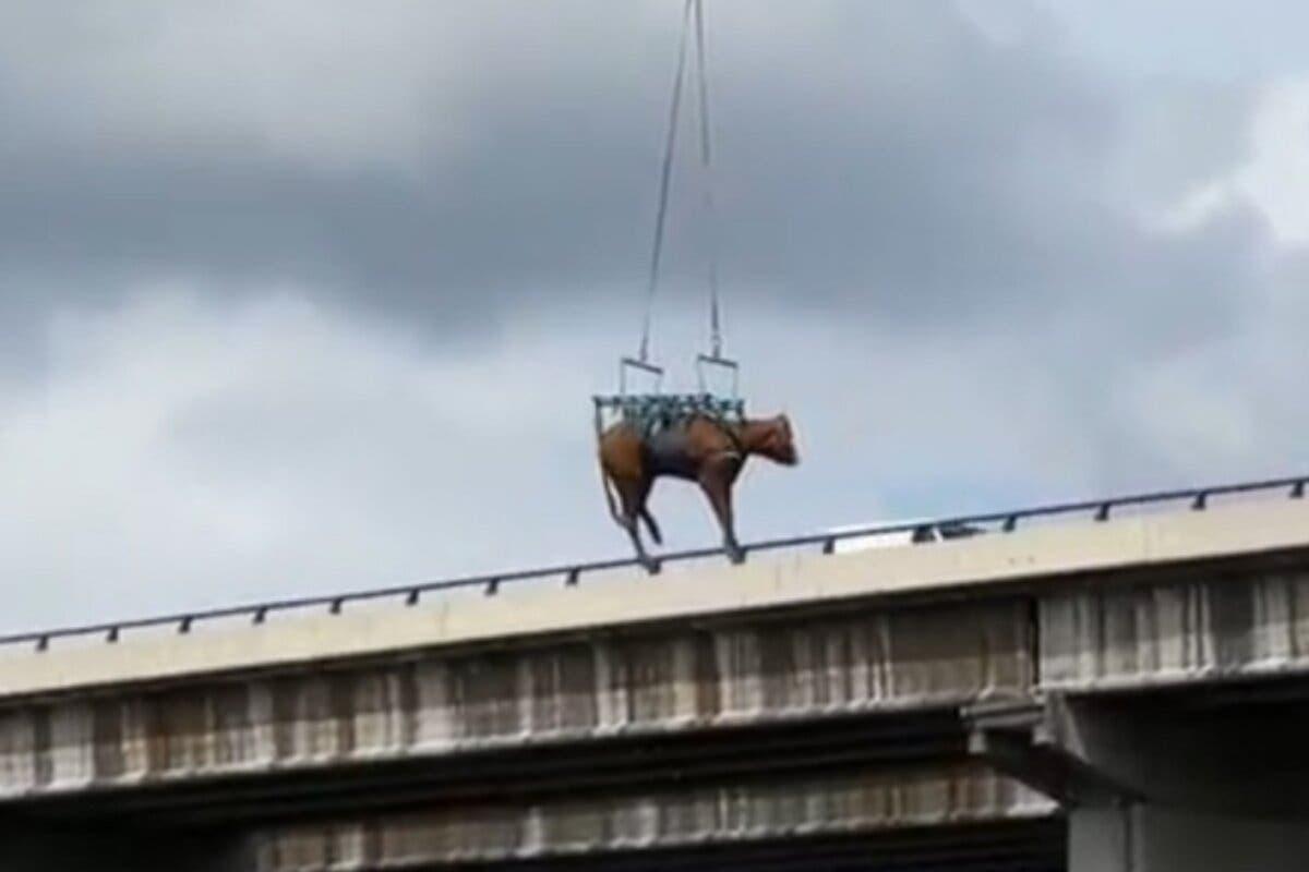 Rescatan en helicóptero a una vaca que llevaba perdida desde el sábado en El Molar