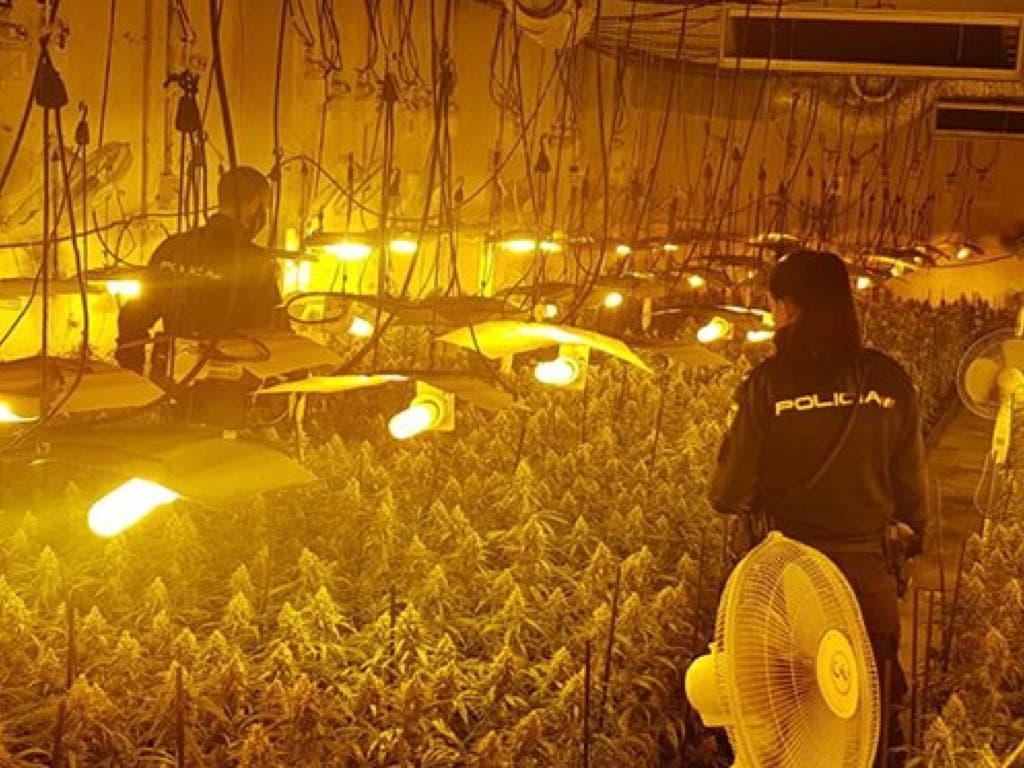 Hallan la mayor plantación indoor de marihuana de la provincia de Guadalajara