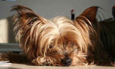 Un perro de raza potencialmente peligrosa mata a un yorkshire en San Fernando de Henares