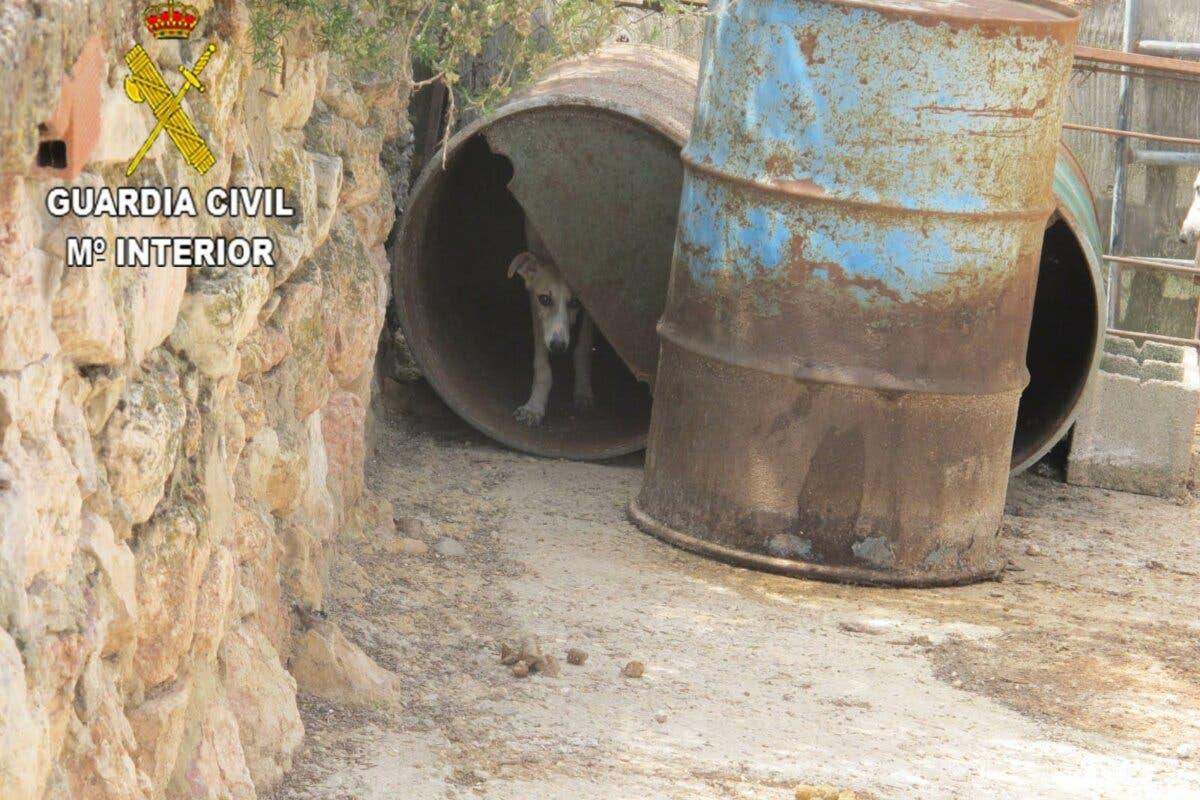 Localizan en una finca de Guadalajara 55 perros de caza en pésimas condiciones