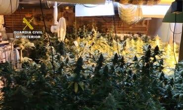 Desmantelan otra plantación de marihuana en El Casar con 787 plantas